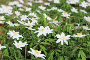 Hvid Anemone - Anemone Nemorosa