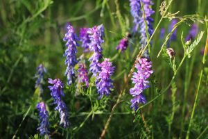 Muse Vikke - Vicia Cracca