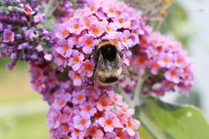 Sommerfuglebusk Flower Power - Buddleia Davidii